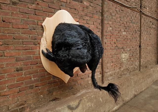 Taureau de combat, 2019 Troché de face, Poézies animales Taxidermie sur blason de bois 100 x 130 x 115 cm ©Ghyslain Bertholon