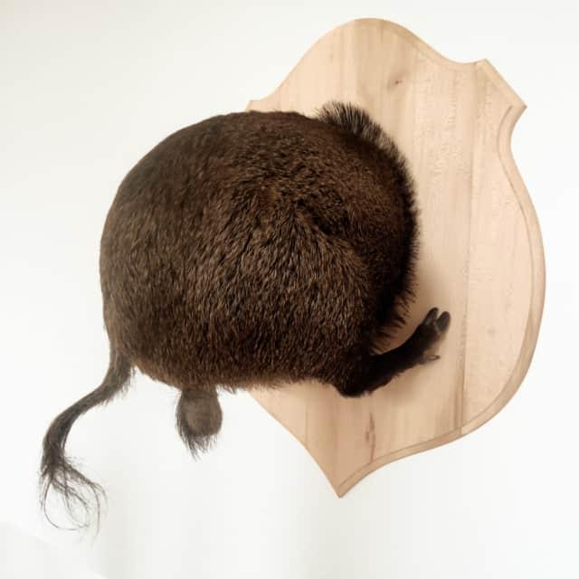 Sanglier, 2014 Troché de face, Poézies animales Taxidermie sur blason en bois de charme 100 x 130 x 60 cm ©Ghyslain Bertholon